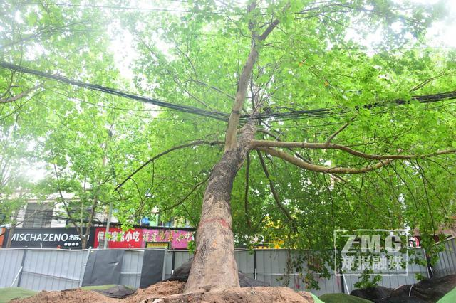 危险!郑州街头法桐树倒下压住多条电缆