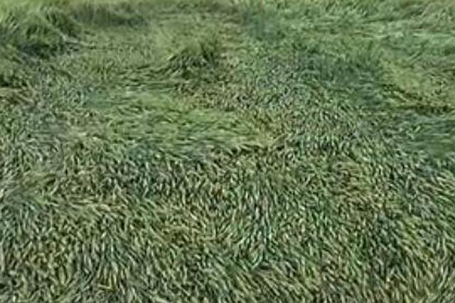 安阳暴雨小麦被风卷倒伏 农户:辛苦1年全没了