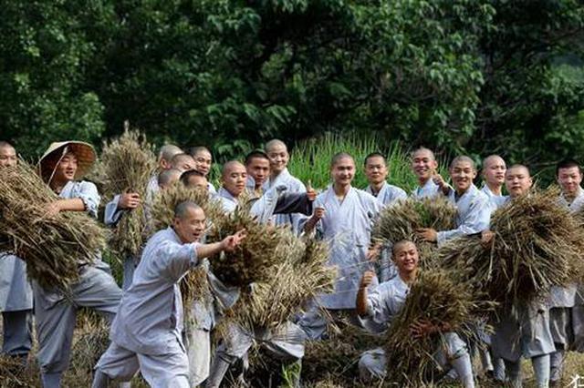 少林寺的麦子熟了 百余僧众和诸多洋弟子收割忙