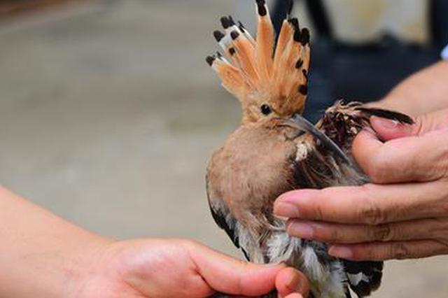 小鸟受伤后遭野猫追咬 郑州市民救下这只以色列国鸟