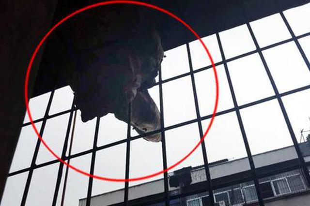 郑州市民出差回家 阳台上多了个50厘米长马蜂窝