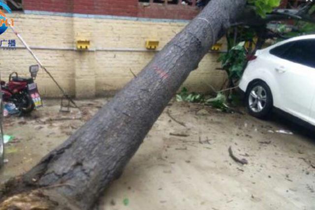 郑州闹市区一颗大树倒下砸中2辆私家车