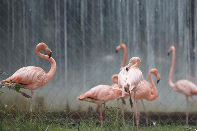 双节好福利! 郑州动物园10只火烈鸟宝宝等你来