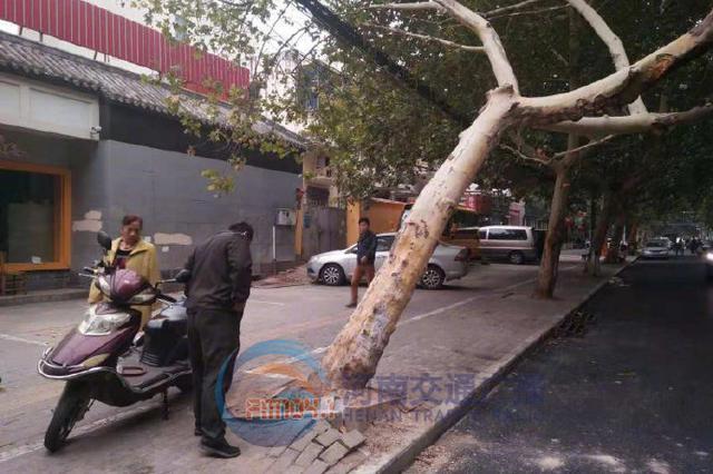 郑州经七路上一颗行道树倾斜45度 过往行人心发慌