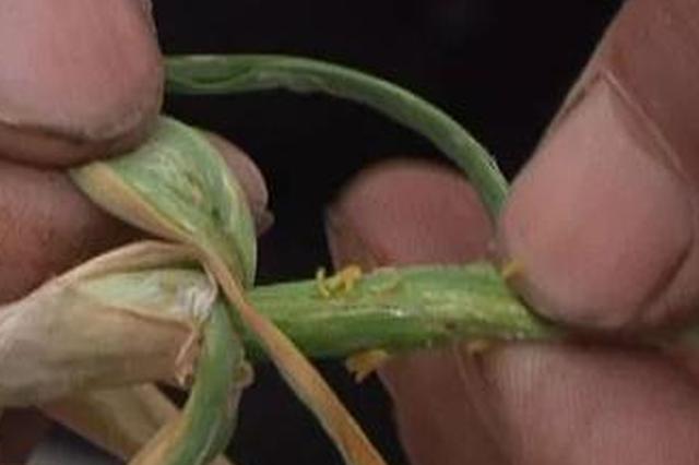 怪虫袭击成灾 开封千亩大蒜要绝收 蒜农紧急呼救