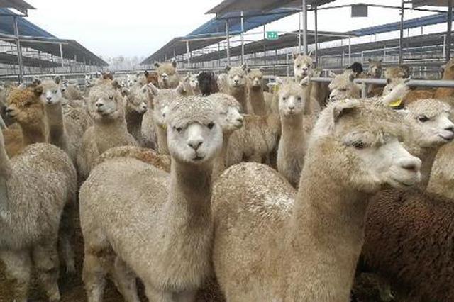 """羊驼预警!600多只澳大利亚羊驼搭""""飞的""""抵郑"""