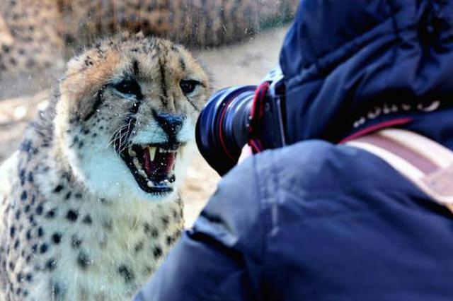 组图:南非猎豹落户郑州
