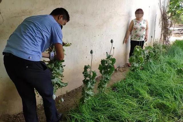 种点罂粟当菜吃? 新密4名村妇种640余株罂粟被拘