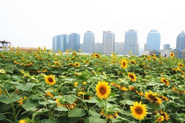 组图:郑州市区现3000平方米空中向日葵园
