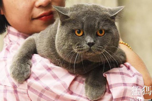 """世界名猫""""拼萌""""大赛郑州站角逐 看看谁最""""萌""""?"""