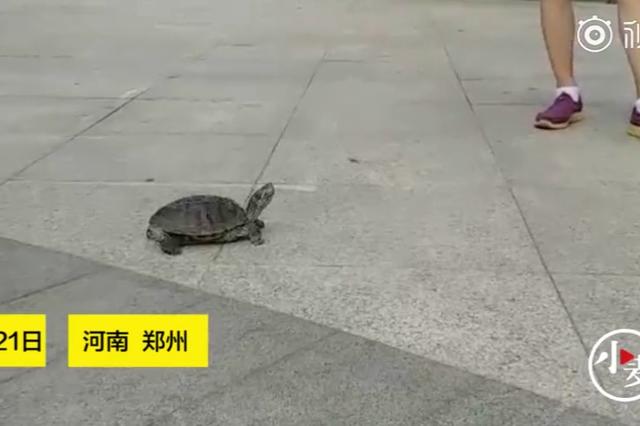 """人遛狗狗 姐遛龟!郑州一女子遛龟秘籍竟是""""晒太阳"""""""