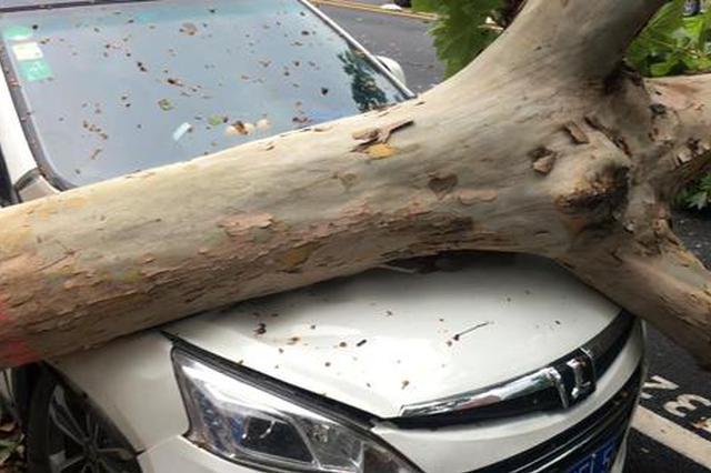 郑州暴风雨后十余棵老树被狂风卷倒 四辆轿车被砸
