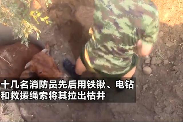 信阳一大黄牛掉进枯井不能动弹 消防员破拆井壁救出