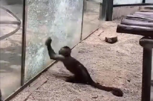 """郑州动物园猴子太聪明 用石头砸玻璃想""""越狱"""""""