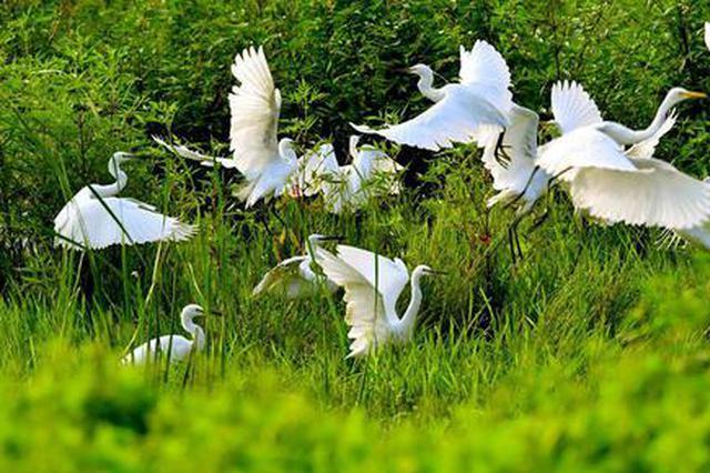 汝阳:生态湿地 白鹭轻舞