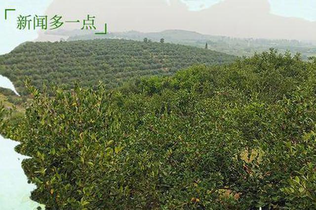 油茶,总书记关心的脱贫致富产业