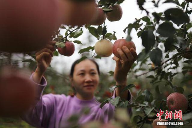 河南灵宝苹果红了(图)