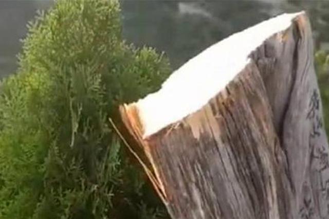"""百年迎客柏树遭""""腰斩"""" 济源市森林公安发布悬赏通告"""