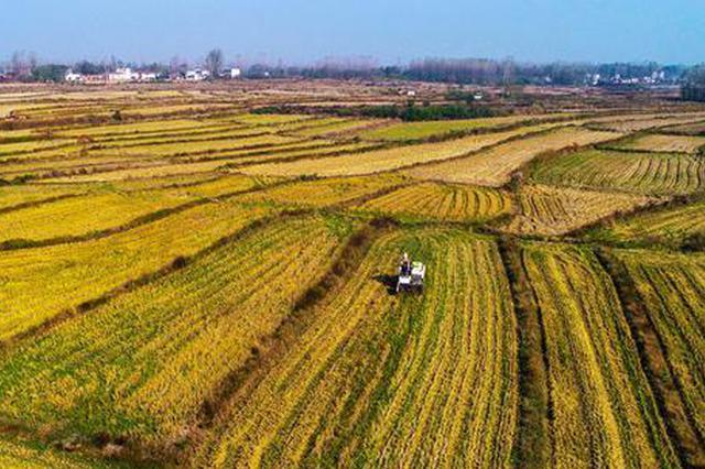 河南光山:第二茬再生水稻喜获丰收(图)