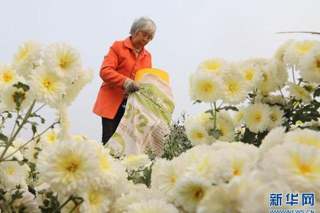 河南温县:深秋时节 怀菊飘香(图)