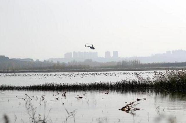 直升机黄河湿地驱赶天鹅?三门峡:正对此进行调查