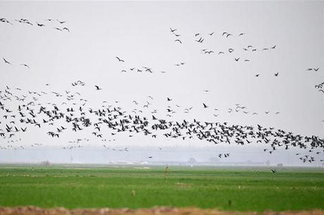 河南黄河湿地群雁来临