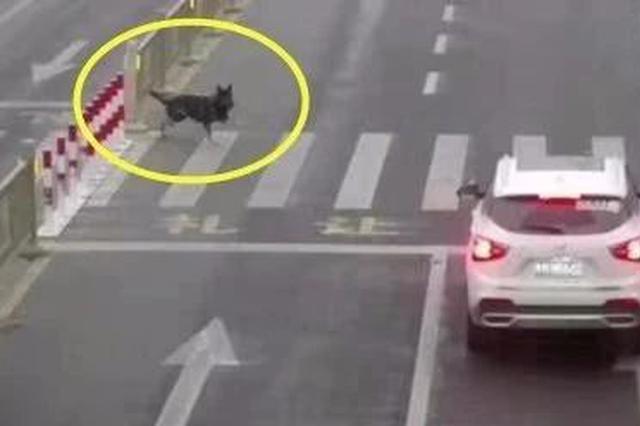 三门峡机动车不礼让狗也被罚?真相公布后怒了…