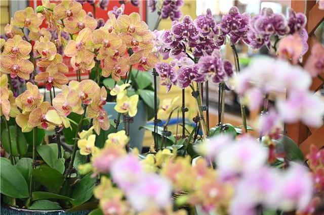 年宵花进入热销高峰季 郑州市场蝴蝶兰涨幅高达15%