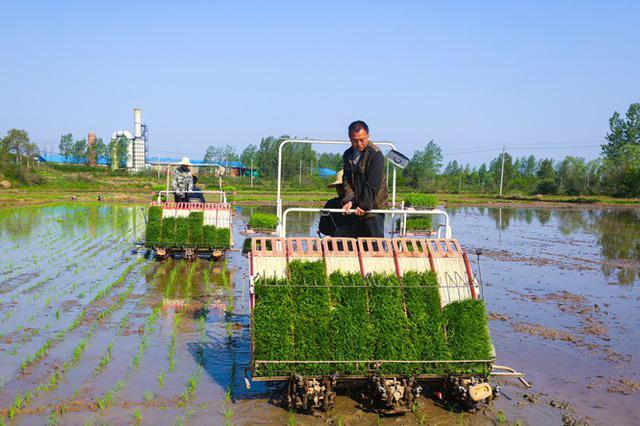 河南光山:再生水稻插秧忙