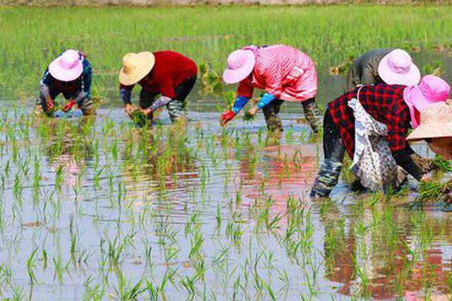 组图:立夏将至 水稻插秧忙