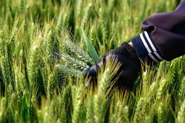 河南8500余万亩小麦开始收获 奏响2020丰收序曲