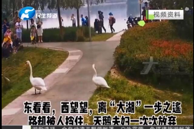 """郑州市民热情似火 """"天鹅一家""""回家有点难?"""