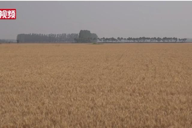 """河南8500万余亩小麦""""疫""""下""""开镰""""迎收获"""
