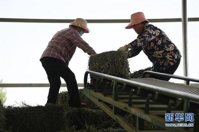 叶县:艾草产业助增收(图)