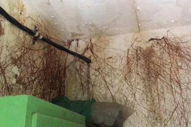 郑州树根穿透屋顶形成壮观根瀑 眼前一幕惊呆众人
