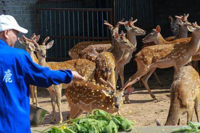 河南光山:养殖梅花鹿富农家