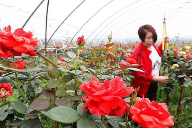 河南宝丰:月季种植助力乡村振兴