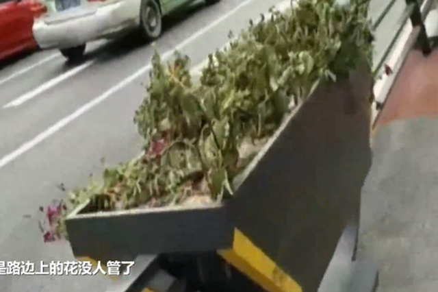 郑州这条路上的花草有人种 没人管!施工方:忘浇水了