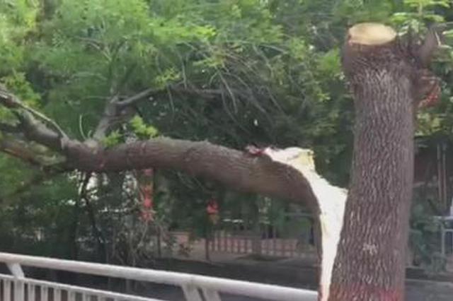 突发!郑州一大树倒地致整条道路断行!
