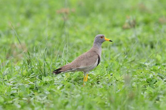 孟津:黄河湿地生态好 鸟儿纷来舞翩跹(图)