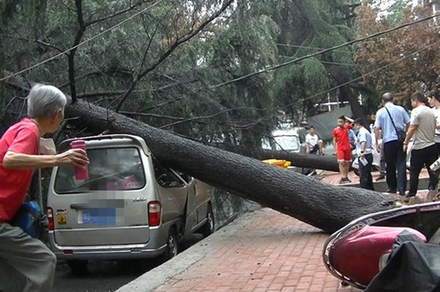 郑州一小区多棵雪松轰然倒地 轿车被砸成V字形