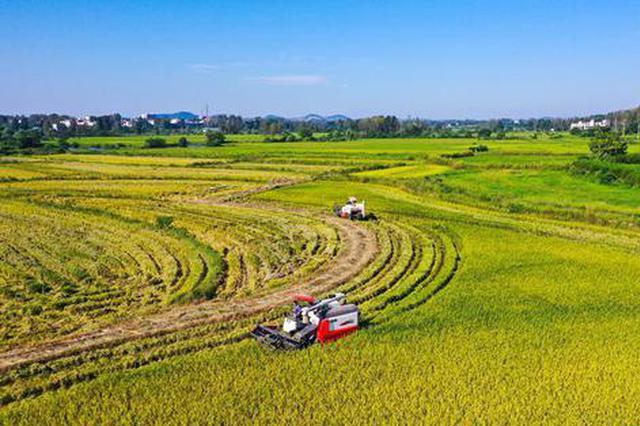 河南光山:5.2万亩再生水稻喜获丰收