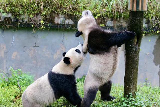 """一大波萌照袭来 即将来河南的熊猫""""灵岩""""""""迈迈""""长这样"""