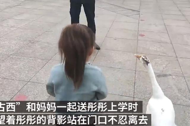 郑州一宠物鹅送3岁小主人上学不忍离去 网友:可陪嫁