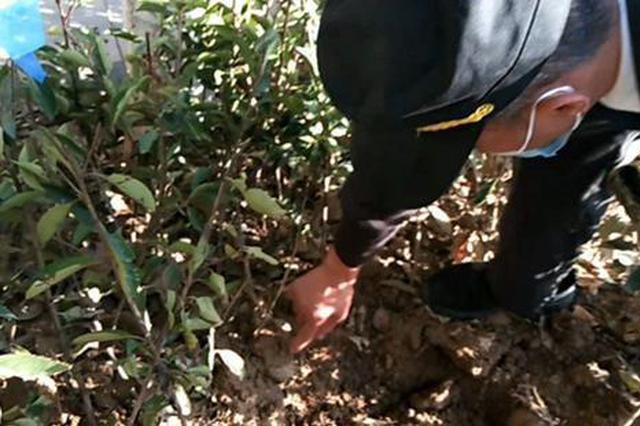 """大批冬青根部包着""""塑料壳""""被移栽绿化带 市民:这影响苗木生"""