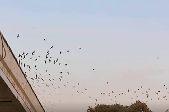 视频:候鸟迁徙来郑州过冬 场面壮观
