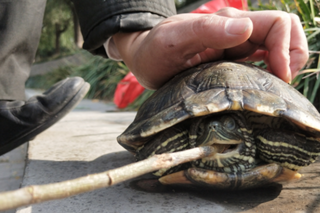 老太太金水河放生巴西龟 专家:最危险外来入侵物种之一