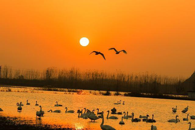 河南灵宝:生态湿地美如画 天鹅云集舞蹁跹(图)