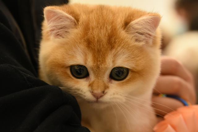 """郑州""""喵星人""""选美大赛 铲屎官:我家猫长得就像第一名"""
