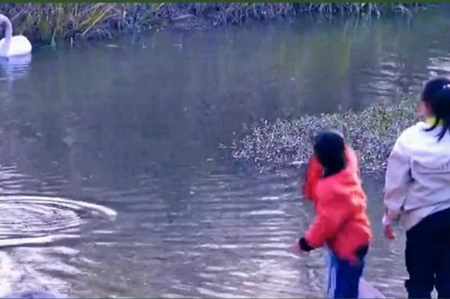 三门峡景区内孩子用石头砸天鹅 家长疑似在旁却未阻拦